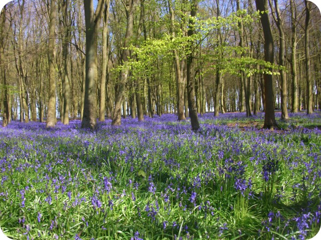 Excuse for a walk: bluebell season.